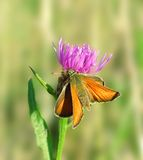 Butterfly on the pink flower. Stock Images