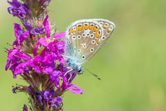 Butterfly on a pink flower. Stock Image
