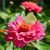 Butterfly on pink flower Royalty Free Stock Photos