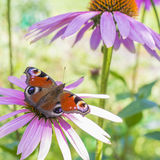 Butterfly on a pink flower. Brown butterfly on a pink flower in the garden Stock Photography