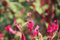 Butterfly on a pink flower. Butterfly on a pink celosia flower stock photos