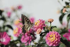 Butterfly on pink flower. A butterfly feeding on a flower stock images