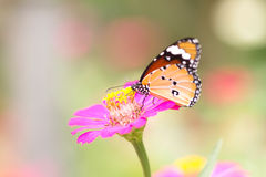 Butterfly on pink flower in the garden on sunny day Royalty Free Stock Photos