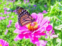 Butterfly on Pink Flower. Monarch Butterfly on Pink Zinnia on Garden stock photo