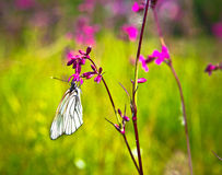 Butterfly and pink flowers Royalty Free Stock Photos