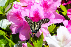 Butterfly on pink flowers; Azalea in Spring Royalty Free Stock Photos