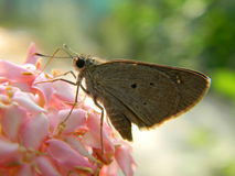 Butterfly on pink flowers. It is a beautiful brownish butterfly sit on pink flowers Stock Photo