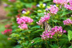 Butterfly on pink flowers in garden Stock Images