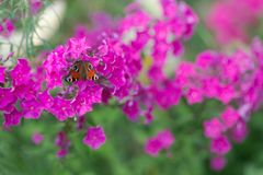 Butterfly on pink flowers. multicolor stock photography