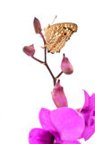 Butterfly on pink Orchid flower Stock Photos