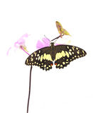 Butterfly on pink Orchid flower Stock Images