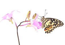 Butterfly on pink Orchid flower Royalty Free Stock Photo