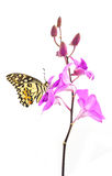 Butterfly on pink Orchid flower Stock Photo