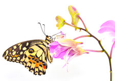 Butterfly on pink Orchid flower Royalty Free Stock Image