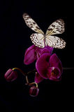 Butterfly on pink orchids. Royalty Free Stock Photography