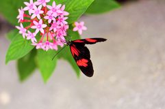Butterfly on pink Pentas lanceolata flowers Stock Image
