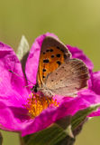 Butterfly on pink rock rose flower Royalty Free Stock Photo