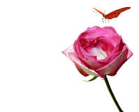 Butterfly and Pink Rose. A pink rose over white with a butterfly Royalty Free Stock Photos
