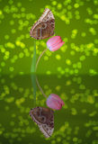 Butterfly on a Pink Tulip Stock Image
