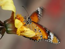 Butterfly, Plain Tiger Royalty Free Stock Image