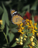 Butterfly Plain Tiger Danaus chrysippus Royalty Free Stock Images
