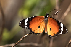 Butterfly - Plain Tiger. Danaus chrysippus, also known as the plain tiger or African monarch, is a medium-sized, butterfly widespread in Asia and Africa. It stock photography