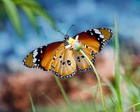Butterfly Plain Tiger or Danaus chrysippus with blue sky background. Butterfly Oriental Plain Tiger or African monarch or Danaus chrysippus on a small yellow stock photo