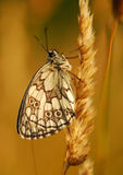 Butterfly on plant. Side macro view of camouflaged butterfly on golden plant Royalty Free Stock Image