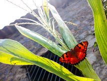 Butterfly on plant. Beautiful orange butterfly sitting on cereal plant stock image