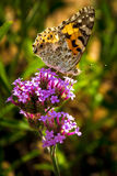 Butterfly on a plant Royalty Free Stock Photo