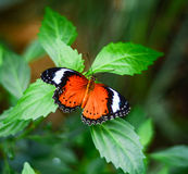 Butterfly on a plant. Orange and Black butterfly on a green plant royalty free stock photos