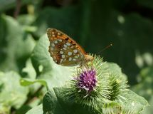Butterfly on a plant. Photo of a butterfly called Issoria lathonia - Perleťovec mal Royalty Free Stock Photography