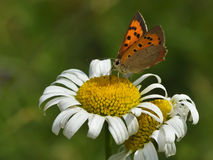 Butterfly - plebejus argus Stock Photo
