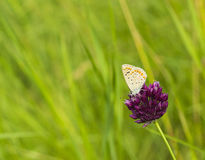 Butterfly Plebejus argus on flower of pink clover in meadow summer day. Silver-studded blue Plebejus argyrognomon butterfly Royalty Free Stock Images
