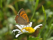 Butterfly - plebejus argus. Butterfly in natural habitat (plebejus argus Royalty Free Stock Photos