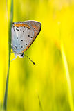 Butterfly Plebejus Idas Royalty Free Stock Photos