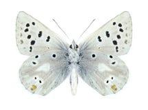 Butterfly Plebejus pyrenaica ergane (male) (underside) Stock Photography
