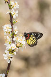 Butterfly on the plum Royalty Free Stock Photo
