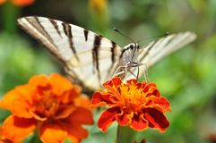Butterfly podalirius Royalty Free Stock Image