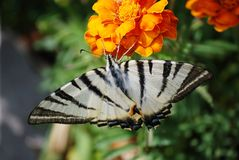 Butterfly podalirius Royalty Free Stock Photos