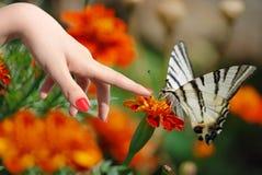 Butterfly podalirius Stock Photos