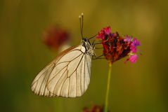 Butterfly pollinating flower Stock Photography