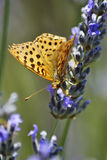 Butterfly pollinating lavender flowers. Royalty Free Stock Photo