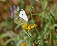 Butterfly pollinating a wild daisy Stock Images