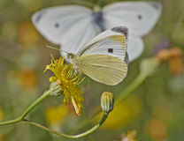 Butterfly pollinating a wild daisy Stock Photography
