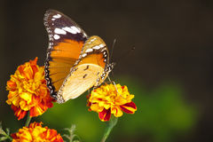 Butterfly pollination stock image