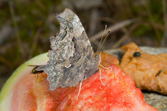 Butterfly (Polygonia C-album) 1 Royalty Free Stock Image