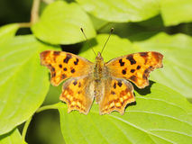 Butterfly (Polygonia c-album) Royalty Free Stock Photography