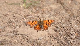Butterfly Polygonia c-album warms the body stock photography