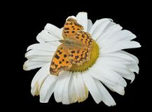 Butterfly Polygonia C-aureum on chamomile 3 Stock Photos